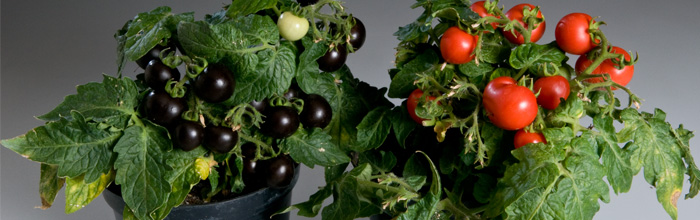 BBC News: Purple tomato 'may boost health